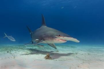 Großer Hammerhai über Sandgrund schwimmt auf einen zu, Bimini / Bahamas