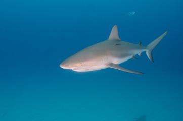 Karibischer Riffhai im Blauwasser