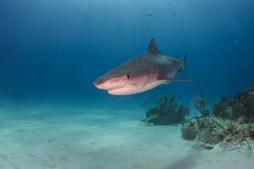 Blickkontakt mit dem Tigerhai auf dem Bahamas