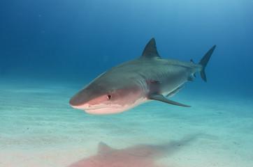 Tigerhai / Tiger Shark über Sandgrund