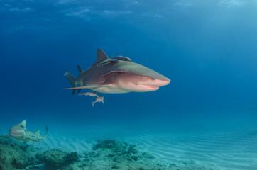 Zitronenhai über Rifflandschaft am Fish Tales, Bahamas