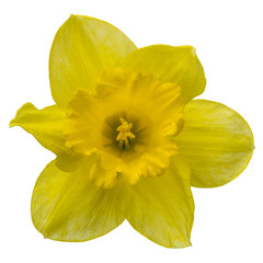 Photo on textile frame Narcissus Flower of yellow Daffodil (narcissus) close-up, isolated on whit