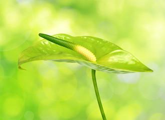 Anthurium flower on green natural background