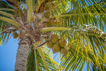 sweet coconut palm trees with blue sky in key west florida