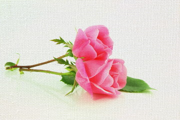 pink rose flower on white canvas background