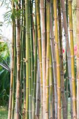 Bamboo tree background in garden