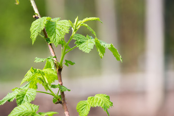 Raspberry sprouts in spring