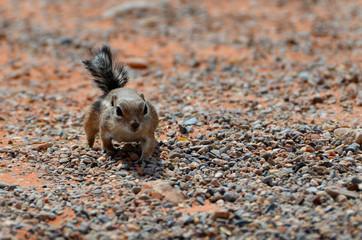 Chipmunk nella Valle del Fuoco