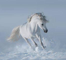 Fototapete - White stallion