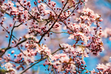 Pink sakura tree blossom in the sunlight with soft focus