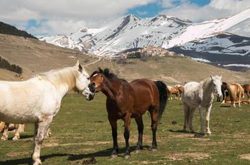 Coppia di cavalli in amore