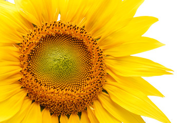 Sunflower isolated on a white background
