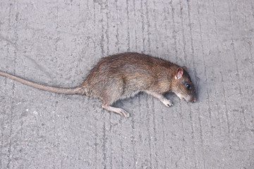 Rat lying dead on the concrete floor