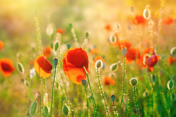Poppy Field Background. Summer Sunshine Effects. Nature Background. Wildflowers, Nature Landscape
