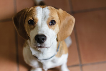 Cute Beagle puppy dog sitting indoors and looking on camera