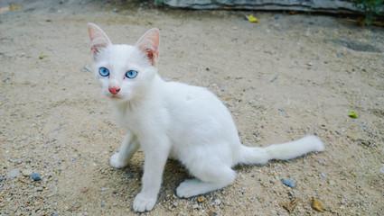 Beautiful Cat Blue Eyes
