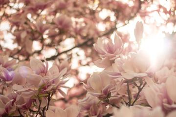 Rosa Magnolienblüten im Frühling
