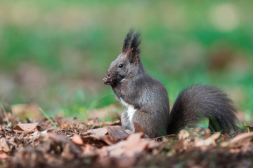 Red Squirrel (Sciurus Vulgaris). Black Morph