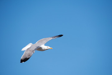 Seagull flying in a blue sky with right copyspace
