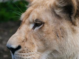 White lioness closeup shot