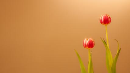Fototapeten Tulpen Twee tulpen