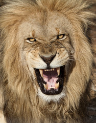 Anger!...a ferocious male lion captured in the wild is it was killing local herds, just placed in protective custody at a huge game farm.  Near Kruger Park in South Africa