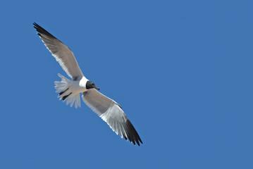 Laughing Gull ((Larus atricilla)