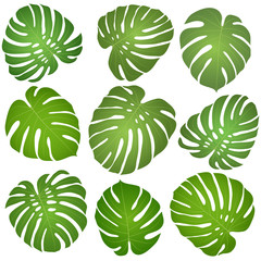 green leaves monstera