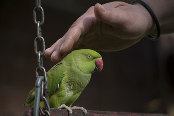 Human hand gently caressing parrot