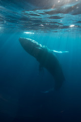 Humpback Whale in Sunlight