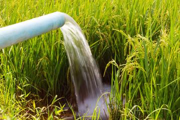 Stream fed rice seedlings.