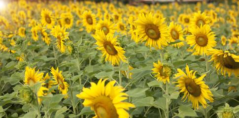 Sunflower Flower blossom in blossom