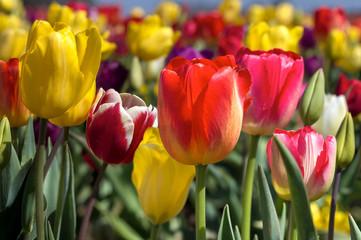 Colorful Tulips Closeup
