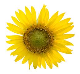 Sunflower on the isolated white background