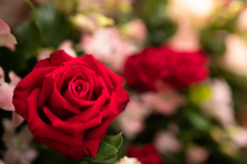 Beautiful red rose flower. - Close up