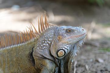 Big turtle iguana lizard