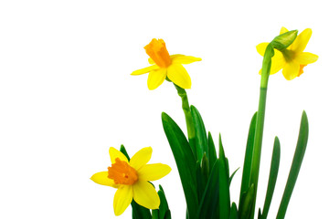 very fragrant and beautiful Narcissus in the photo close up on an isolated background