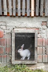 Rabbit on farm