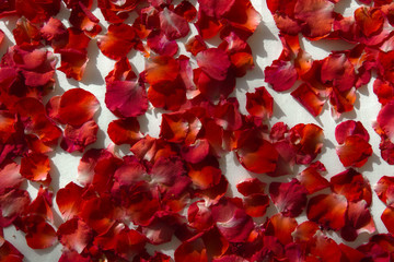 Rose petals on the white background.