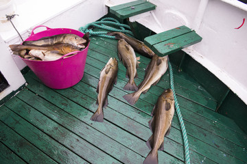 Fresh catch cod on the boat, ocean and sea fishing, Iceland