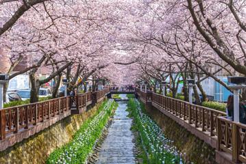Cherry blossom at Yeojwacheon Stream, South Korea