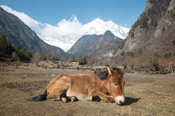 Donkey is resting on the grass in yunnan china