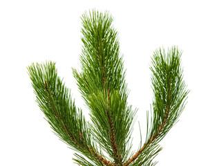 pine twig isolated