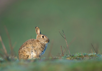 European rabbit, sitting in the grass, with clean background, Czech Republic, Europe