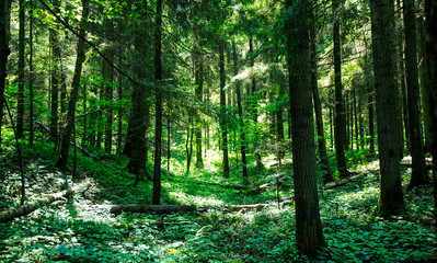 sunlit greenery in the wooded forest