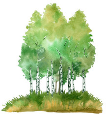 Birch groove, summer. Watercolor illustration, isolated on white background.