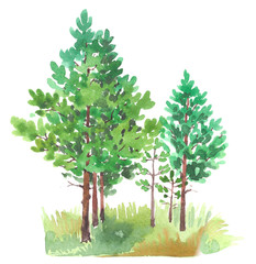 Watercolor painting of young pines and grass, summer. Watercolor illustration, isolated on white background.