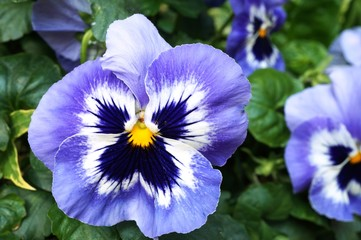 White and purple pansy violet flowers