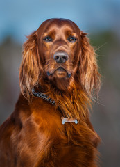 Fototapete - Irish Red Setter