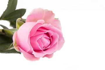Rose Valentinstag